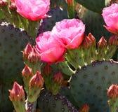 Różowi kwitnący kaktusy Fotografia Royalty Free
