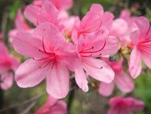Różowi Ledum i różanecznika kwiaty Obraz Royalty Free