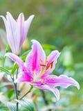 Różowi leluja kwiaty Obraz Royalty Free