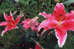 Różowi leluja kwiaty kwitną fotografia stock