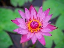 Różowi lotosowi kwiaty kwitną fotografia royalty free