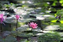 Różowi Lotosowi kwiaty kwitnęli na jasnym jeziorze w ciepłym słońcu Zdjęcia Royalty Free
