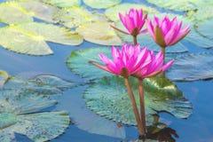 Różowi lotosowi kwiaty na natury tle zdjęcie royalty free