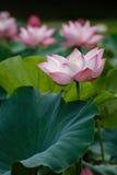 Różowi Lotosowi kwiaty stoi wśród swój rośliien Fotografia Royalty Free