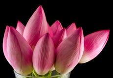 Różowi lotosowi kwiaty, wodna leluja, zakończenie up Zdjęcie Royalty Free