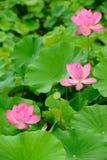 Różowi lotosu w liść tle Obraz Royalty Free