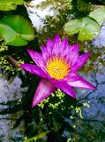 Różowi lotosy i beatyfikują odruch w basenie zdjęcia stock