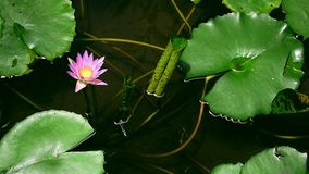Różowi lotosy i liście z odbiciem drzewa w ryba stawu i guppy barwią pełnych ogony zdjęcie wideo
