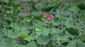 Różowi lotuses w delikatnym wiatrze zbiory