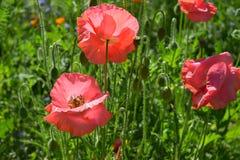 Różowi maczki na polu inni maczki obraz royalty free
