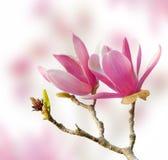 Różowi magnolia kwiaty odizolowywający Zdjęcia Royalty Free