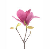 Różowi magnolia kwiaty odizolowywający Obraz Royalty Free