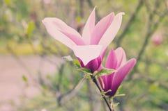 Różowi magnolia pączki zdjęcie stock