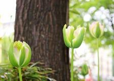 Różowi miękka część tulipany Zdjęcie Royalty Free