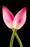 Różowi Nelumbo nucifera kwiaty, zamykają up, Obrazy Stock