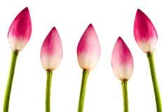 Różowi Nelumbo nucifera kwiaty, zamykają up, Zdjęcie Stock