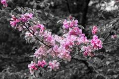 Różowi okwitnięcie kwiaty, drzewa i Zdjęcie Stock