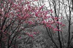 Różowi okwitnięcie kwiaty, drzewa i Obrazy Royalty Free