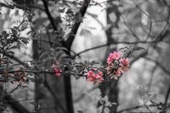 Różowi okwitnięcie kwiaty, drzewa i Obraz Stock