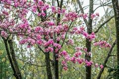 Różowi okwitnięcie kwiaty, drzewa i Zdjęcia Stock