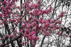 Różowi okwitnięcie kwiaty, drzewa i Obrazy Stock