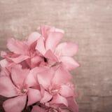 Różowi oleandrowi kwiaty zamykają up na drewnianym tle Fotografia Royalty Free