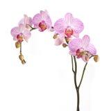 Różowi orchidea kwiaty obraz royalty free