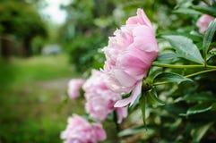 Różowi peonia kwiaty w wsi uprawiają ogródek z zamazanym tłem Obraz Royalty Free