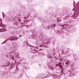 Różowi peonia płatki Obraz Royalty Free