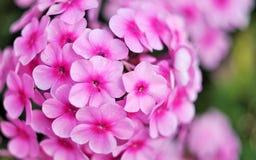 Różowi piękni kwiaty Obrazy Royalty Free
