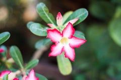 Azalia kwiaty Obrazy Stock