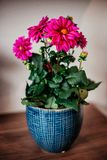 Różowi plowers w błękitnym garnku obrazy stock