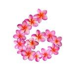Różowi Plumeria kwiaty liczba Sześć Zdjęcia Stock