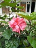 Różowi Poślubnika Kwiatu zdjęcie royalty free