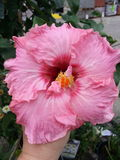 Różowi Poślubnika Kwiatu obraz stock