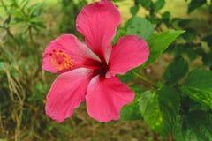 Różowi Poślubnika Kwiatu Obraz Royalty Free