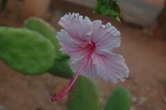 Różowi Poślubnika Kwiatu Hawajski krajowy symbol Lato rośliny kwitnąć Obrazy Royalty Free