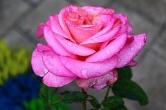 Różowi różanego po deszczu fotografia stock