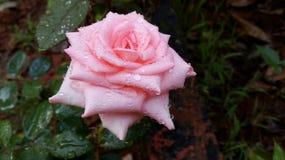 Różowi Różanego z wodnymi kropelkami w ogródzie Obraz Stock