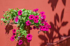 Różowi ranek chwały kwiaty Zdjęcia Royalty Free