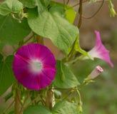Różowi ranek chwały kwiaty Zdjęcia Stock