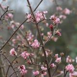 Różowi Redbud drzewa kwitną Zdjęcia Royalty Free