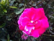 Różowi rzadcy dzicy kwiaty Zdjęcie Stock