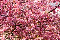 Różowi Sakura okwitnięcia kwiaty Obrazy Stock