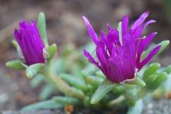 Różowi tłustoszowaci roślina kwiaty Zdjęcia Royalty Free