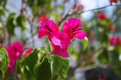 Różowi tropikalni kwiaty z trójbok formą Fotografia Royalty Free