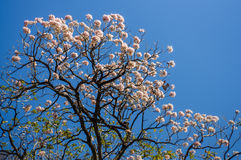 Różowi tubowi drzewa obrazy royalty free