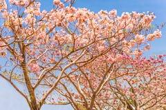 Różowi tubowi drzewa fotografia stock