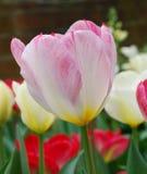 Różowi tulipanowi kwiaty Obrazy Royalty Free