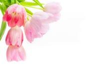 Różowi tulipany, biały tło Fotografia Stock
